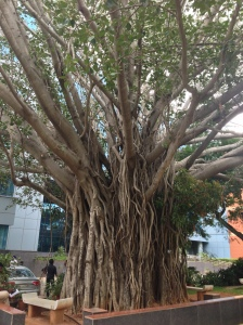 Banyan tree, Bangalore, India